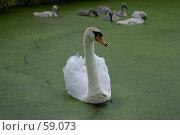 Купить «Лебедь», эксклюзивное фото № 59073, снято 23 июня 2007 г. (c) Natalia Nemtseva / Фотобанк Лори