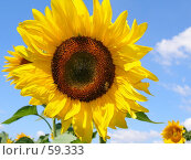 Купить «Цветок подсолнуха», фото № 59333, снято 8 июля 2007 г. (c) Елена Руденко / Фотобанк Лори