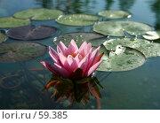 Купить «Розовый цветок лилии-кувшинки в обрамлении листьев с отражением в воде», фото № 59385, снято 7 июля 2007 г. (c) Demyanyuk Kateryna / Фотобанк Лори