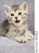 Купить «Маленький серый котенок с открытым ртом», фото № 59661, снято 4 июля 2007 г. (c) Останина Екатерина / Фотобанк Лори