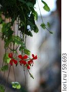 Купить «Пеларгония щитолистная», фото № 59693, снято 19 сентября 2018 г. (c) Лифанцева Елена / Фотобанк Лори