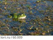Купить «Зеленая квакушка в болотной тине», фото № 60009, снято 9 июня 2007 г. (c) Константин Покровский / Фотобанк Лори