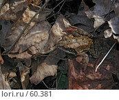 Купить «Лягушка на листьях», фото № 60381, снято 14 июля 2020 г. (c) Вадим Кондратенков / Фотобанк Лори