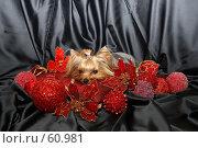 Купить «Йоркширский терьер  на красной подушке в новогодних игрушках», фото № 60981, снято 24 октября 2006 г. (c) Ирина Мойсеева / Фотобанк Лори