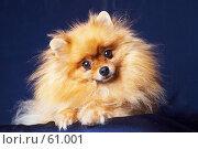 Купить «Померанский шпиц», фото № 61001, снято 6 декабря 2006 г. (c) Ирина Мойсеева / Фотобанк Лори