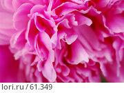 Купить «Пион», фото № 61349, снято 19 сентября 2018 г. (c) Лифанцева Елена / Фотобанк Лори