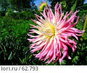 Купить «Георгин игольчатый», фото № 62793, снято 15 июля 2007 г. (c) Тим Казаков / Фотобанк Лори