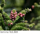 Купить «Цветут хвойные. Розовые шишки.», фото № 63369, снято 2 апреля 2007 г. (c) Demyanyuk Kateryna / Фотобанк Лори