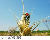 Купить «Жук божья коровка. Пшеничное поле. Лето.», фото № 63393, снято 11 июля 2007 г. (c) Петрова Ольга / Фотобанк Лори