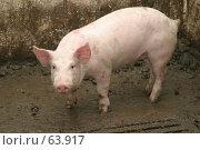 Купить «Свинья», фото № 63917, снято 19 декабря 2006 г. (c) Dzianis Miraniuk / Фотобанк Лори