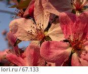 Купить «Розовые цветки вишни под ласковым летним солнцем», фото № 67133, снято 24 апреля 2005 г. (c) Harry / Фотобанк Лори
