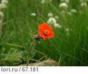 Купить «Красный полевой цветок на зеленом поле», фото № 67181, снято 26 июня 2004 г. (c) Harry / Фотобанк Лори