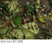 Купить «Композиция из свежих листьев и орехов, сбитых проливным дождем», фото № 67265, снято 16 декабря 2018 г. (c) Harry / Фотобанк Лори