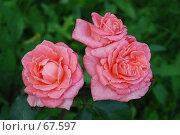 Купить «Кустовая роза», фото № 67597, снято 13 июля 2007 г. (c) Лифанцева Елена / Фотобанк Лори
