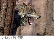 Купить «Волк», фото № 68489, снято 12 апреля 2006 г. (c) Морозова Татьяна / Фотобанк Лори