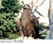 Купить «Орел на бревне 3», фото № 70665, снято 6 ноября 2005 г. (c) Parmenov Pavel / Фотобанк Лори
