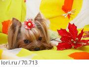 Купить «Йоркширский терьер на ярком желтом фоне  с декоративными цветами и бабочками», фото № 70713, снято 24 октября 2006 г. (c) Ирина Мойсеева / Фотобанк Лори
