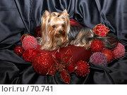 Купить «Йоркширский терьер на красной подушке в новогодних игрушках», фото № 70741, снято 24 октября 2006 г. (c) Ирина Мойсеева / Фотобанк Лори
