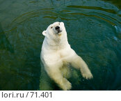 Купить «Белый медведь в зоопарке», фото № 71401, снято 6 апреля 2020 г. (c) Влад Нордвинг / Фотобанк Лори