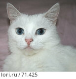 Купить «Кошка с голубыми глазами», фото № 71425, снято 7 августа 2007 г. (c) Юлия Смольская / Фотобанк Лори