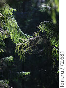 Купить «Сказочная ель», фото № 72681, снято 16 августа 2007 г. (c) Алена Сафронова / Фотобанк Лори