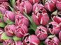 Полосатые голландские тюльпаны, фото № 74989, снято 10 апреля 2007 г. (c) Лада Иванова / Фотобанк Лори