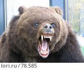 Голова медведя. Стоковое фото, фотограф Игорь Олюнин / Фотобанк Лори