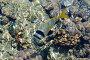 Чернополосый морской карась, фото № 78613, снято 22 августа 2007 г. (c) Лифанцева Елена / Фотобанк Лори