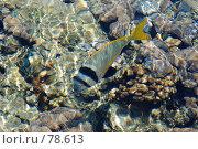 Купить «Чернополосый морской карась», фото № 78613, снято 22 августа 2007 г. (c) Лифанцева Елена / Фотобанк Лори