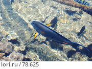 Купить «Рыба-хирург», фото № 78625, снято 22 августа 2007 г. (c) Лифанцева Елена / Фотобанк Лори