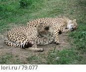 Купить «Зоопарк. Послеобеденный сон», фото № 79077, снято 29 июля 2006 г. (c) Бугаева Вероника Владимировна / Фотобанк Лори