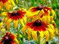 Маленькие солнышки горизонтальный, фото № 83313, снято 11 июля 2007 г. (c) ДЕНЩИКОВ Александр Витальевич / Фотобанк Лори