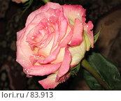 Купить «Роза с каплями воды на лепестках», фото № 83913, снято 7 октября 2006 г. (c) Бугаева Вероника Владимировна / Фотобанк Лори