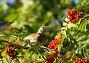 Ягоды рябины и птица, фото № 87673, снято 24 сентября 2007 г. (c) Бутинова Елена / Фотобанк Лори