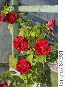 Купить «Садовая роза», фото № 87981, снято 22 мая 2018 г. (c) Игорь Соколов / Фотобанк Лори