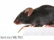 Купить «Чёрная мышь на белом фоне», фото № 88761, снято 23 сентября 2007 г. (c) Сергей Лаврентьев / Фотобанк Лори
