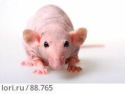 Купить «Голая крыса», фото № 88765, снято 23 сентября 2007 г. (c) Сергей Лаврентьев / Фотобанк Лори