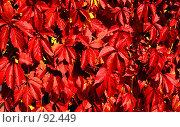 Купить «Виноградная лоза. (Grapevine)», фото № 92449, снято 23 сентября 2007 г. (c) Анатолий Теребенин / Фотобанк Лори