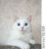 Купить «Белая кошка с голубыми глазами», фото № 92929, снято 29 сентября 2007 г. (c) Юлия Смольская / Фотобанк Лори