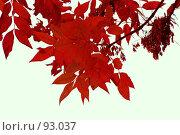 Купить «Красные листья», фото № 93037, снято 26 сентября 2007 г. (c) Алена Сафронова / Фотобанк Лори