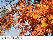Купить «Ветка клена», фото № 93645, снято 23 сентября 2007 г. (c) Елена Мельникова / Фотобанк Лори