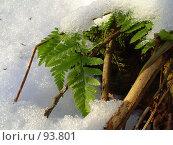 ВЕСЕННИЙ Папоротник в снегу. Стоковое фото, фотограф Баскаков Андрей / Фотобанк Лори