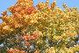 Желтые листья клена, фото № 94169, снято 19 сентября 2007 г. (c) Parmenov Pavel / Фотобанк Лори
