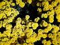 Крым. Никитский ботанический сад. Бал хризантем. Октябрь 2006 года, фото № 94281, снято 24 октября 2016 г. (c) Наталья Ткаченко / Фотобанк Лори
