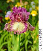 Купить «Ирис», фото № 94961, снято 20 мая 2005 г. (c) Иван Сазыкин / Фотобанк Лори