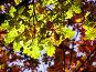 Между летом и осенью: зеленые листья дуба на красном осеннем фоне, фото № 98105, снято 26 октября 2016 г. (c) Светлана Кучинская / Фотобанк Лори