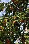 Спелая алыча на ветках, фото № 98665, снято 25 августа 2007 г. (c) Борис Панасюк / Фотобанк Лори