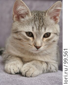Купить «Взгляд маленького серого котенка», фото № 99561, снято 17 сентября 2007 г. (c) Останина Екатерина / Фотобанк Лори