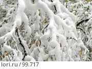 Купить «Пушистые ветки», фото № 99717, снято 16 октября 2007 г. (c) Alla Andersen / Фотобанк Лори