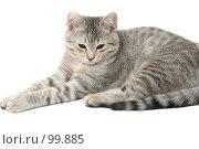 Купить «Взгляд маленького серого котенка», фото № 99885, снято 27 сентября 2007 г. (c) Останина Екатерина / Фотобанк Лори